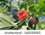 Selective focus photograph of ripe fig on fig tree - stock photo