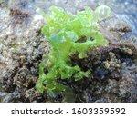 Sea lettuce as Ulva lactuca on rocks around Indonesian marine