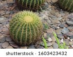 Small photo of Large cactus It takes a long time to grow up.