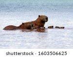 Five Capybaras Chicks Swimming...