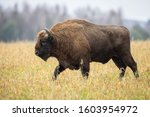 European Bison   Bison Bonasus...
