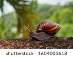 Giant African Land Snail  ...