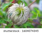 Feathery Spines Of Clematis...