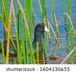 American Coot Slowly Making Its ...