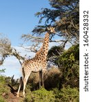 close photo of tall african... | Shutterstock . vector #160428332