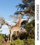 close photo of tall african... | Shutterstock . vector #160428332