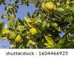 Ripening Lemons With Dew Drops...