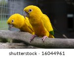 A Pair Of Golden Conures In An...