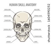 structure of the human skull.... | Shutterstock . vector #1604590252