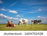Small photo of Three cows, frisian holstein, in a pasture under a blue sky and a faraway straight horizon, two stands upright and one lying cows.