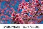 Wild Himalayan Cherry Or...