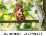 Bushy Tailed Squirrel With A...