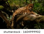 A Jaguar  Panthera Onca  Rests...