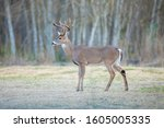 White Tailed Deer In A Texas...