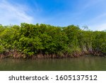 A Lot Of Mangrove Tree Or Swam...
