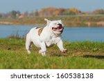 Stock photo english bulldog running 160538138