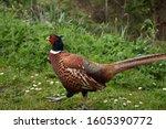 Gorgeous Ring Necked Pheasant...
