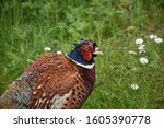 Beautiful Wild Game Pheasant...