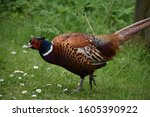 Large Common Pheasant Moving...