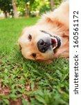 Stock photo dog smiling 160561172