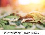 Caterpillars Of A Silkworm Eat...
