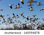 Snow Goose  Migratory Bird Wit...
