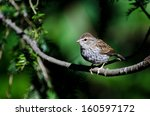 young chipping sparrow perched... | Shutterstock . vector #160597172