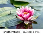 Beautiful Pink Water Lily In A...