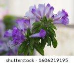 Garlic Vine Purple Flower...