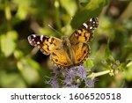 American Lady Butterfly Feeding ...