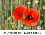 Two Red Poppy Flowers  Papaver...