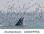 humpback whale eating fish. | Shutterstock . vector #160659956