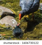 Mother Coot Feeding A Spider T...