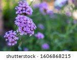 Close Up Of Verbena Flower Wit...