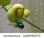 Green Bee Of Euglossini Specie...