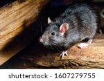The black rat  rattus rattus  ...