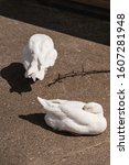 Small photo of White Geese goose sat and stood on concrete in the sun in a City Farm yard in London UK