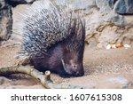 Porcupine in a Zoo in Prague, the Czech Republic. Large Porcupine, Common Porcupine. Close up of a big porcupine.