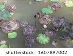 Lotus Flowers And Lotus Leaves...