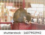 Fur Of A Squirrel Monkey Is...