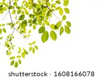 tree leaf on white background | Shutterstock . vector #1608166078