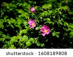 Rosehip Flower  Pink Wild Rose...
