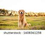 Golden Retriever Dog Enjoying...