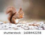 Wild Eurasian Red Squirrel ...