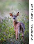 Small photo of Whitetail deer fawn in a field.