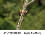 Yellow Fronted Woodpecker  ...
