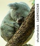A Cute Little Koala ...