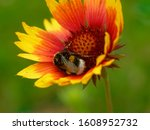 Bumblebee In A Flower Of...