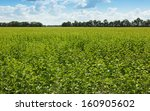 Farmland Of Sunflowers At...