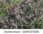 Leavenworth\'s Eryngo  Eryngium...